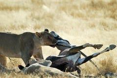 Lejon som äter ett rov, Etosha nationalpark, Namibia arkivfoto