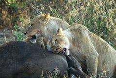 Lejon som äter ett rov, Ngorongoro krater, Tanzania royaltyfria bilder