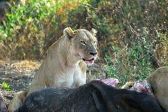 Lejon som äter ett rov, Ngorongoro krater, Tanzania royaltyfri bild
