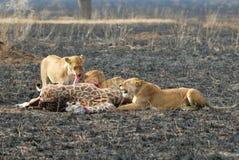 Lejon som äter ett rov, Serengeti nationalpark, Tanzania arkivbilder