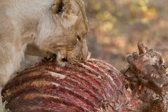 Lejon som äter giraf Arkivfoto