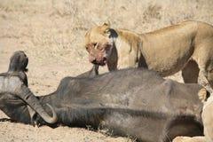 Lejon som äter tjuren i blod, når att ha jagat den lösa farliga däggdjurafrica savannahen Kenya royaltyfria bilder