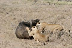Lejon som äter tjuren i blod, når att ha jagat den lösa farliga däggdjurafrica savannahen Kenya fotografering för bildbyråer