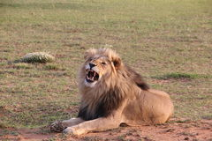 Lejon som brummar DJE Arkivfoton