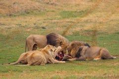 Lejon som delar ett byte arkivfoton