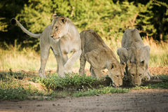 Lejon som dricker från dammet royaltyfri bild