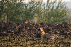 Lejon som gäspar Sydafrika Royaltyfri Bild