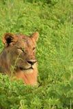 Lejon som lägger i fältslutet upp Royaltyfri Bild