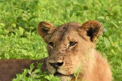 Lejon som lägger i fältslutet upp Royaltyfria Bilder
