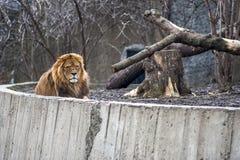 Lejon som lägger i gräs i zoolivsmiljö fotografering för bildbyråer