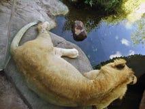 Lejon som lägger på ett stenavsnitt som reflekterar på vattnet arkivfoto