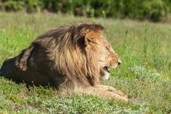 Lejon som ligger i gräs som vrålar Arkivfoton