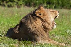Lejon som ligger i gräs som vrålar Fotografering för Bildbyråer