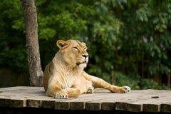 Lejon som ligger på en trälandning Royaltyfria Foton