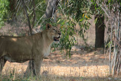 Lejon som majestically går i en skog Arkivbild