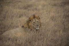 Lejon som ner ligger i torrt fält av gräs Royaltyfri Fotografi