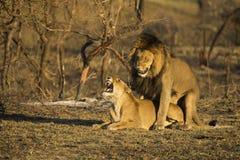 Lejon som parar ihop i morgonljus Royaltyfria Bilder