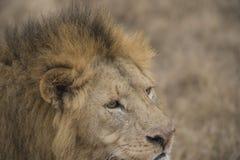 Lejon som ser högert med full man och den röda näsan Royaltyfri Foto