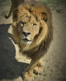 Lejon som ser in i kameran close upp arkivfoto