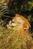 Lejon som slickar morgondagg i Botswana Royaltyfri Bild