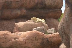 Lejon som sover på den Toronto zoo arkivbilder