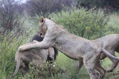 Lejon som spelar med det manliga lejonet för fader - konung av djungeln Royaltyfri Bild