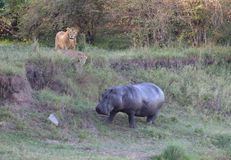 Lejon som synar en Hippopatamus Royaltyfri Fotografi