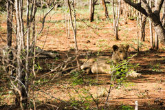 Lejon som vilar i skuggan Arkivfoton