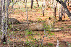 Lejon som vilar i solen Royaltyfri Fotografi