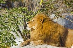 Lejon som vilar pantheraen leo Royaltyfri Foto