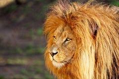 Lejon - stående i solig dag fotografering för bildbyråer