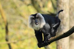 Lejon-tailed macaque royaltyfri foto