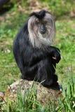 Lejon-tailed macaque (Macacasilenus), också som är bekant som wanderooen arkivfoto