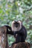 Lejon-tailed Macaque & x28; Macacasilenus& x29; royaltyfri bild