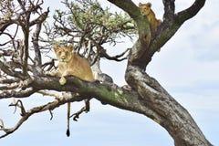 Lejon up ett träd Arkivfoton
