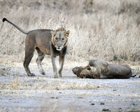Lejonbröder Fotografering för Bildbyråer