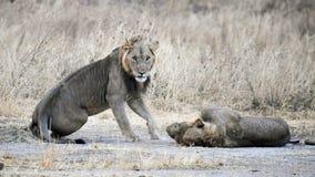 Lejonbröder Royaltyfri Bild