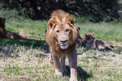 Lejondjurliv Royaltyfria Bilder