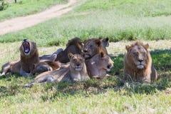 Lejondjurliv Royaltyfri Fotografi