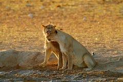 Lejondricksvatten Stående av par av afrikanska lejon, Panthera leo, detalj av stora djur, Kruger nationalpark Sydafrika arkivbilder