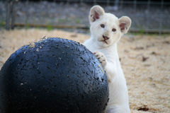 Lejonet behandla som ett barn Royaltyfria Foton