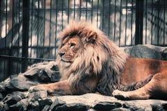 Lejonet i zoo Arkivfoto