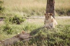 Lejonet kopplar av på savannet Arkivbild