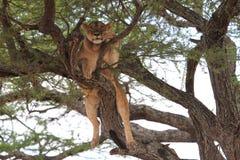 Lejonet kopplar av på träd arkivfoton