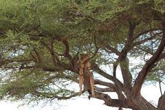 Lejonet kopplar av på träd arkivbild