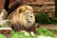 Lejonet ligger på gräs Fotografering för Bildbyråer