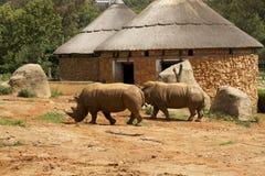 Lejonet och noshörningen parkerar Sydafrika Arkivfoto