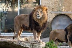Lejonet, pantheraen leo ?r en av de fyra stora katterna i sl?ktet Panthera royaltyfri bild