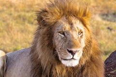 Lejonet ser i ramen Masai Mara, Afrika arkivfoto