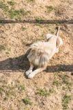 Lejonetalbino Arkivfoto